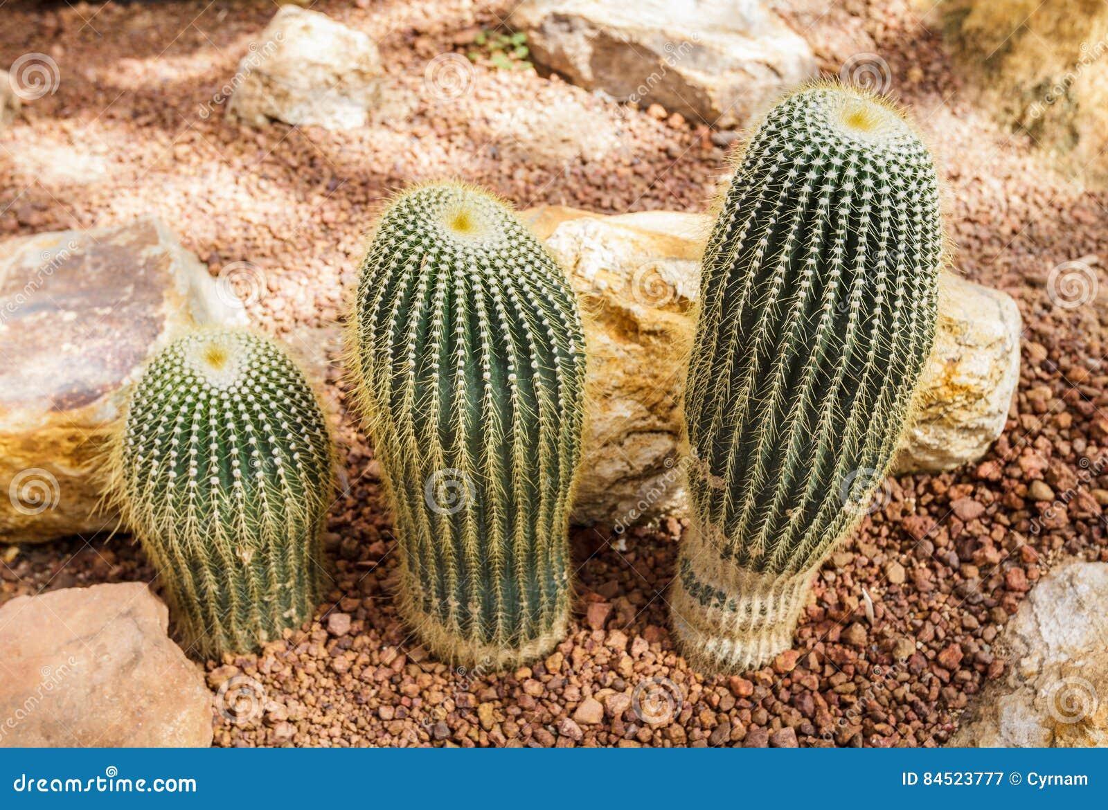 Mooie cactusinzameling op botanische rotsachtige tuin, fallische gevormd, decor en achtergrond