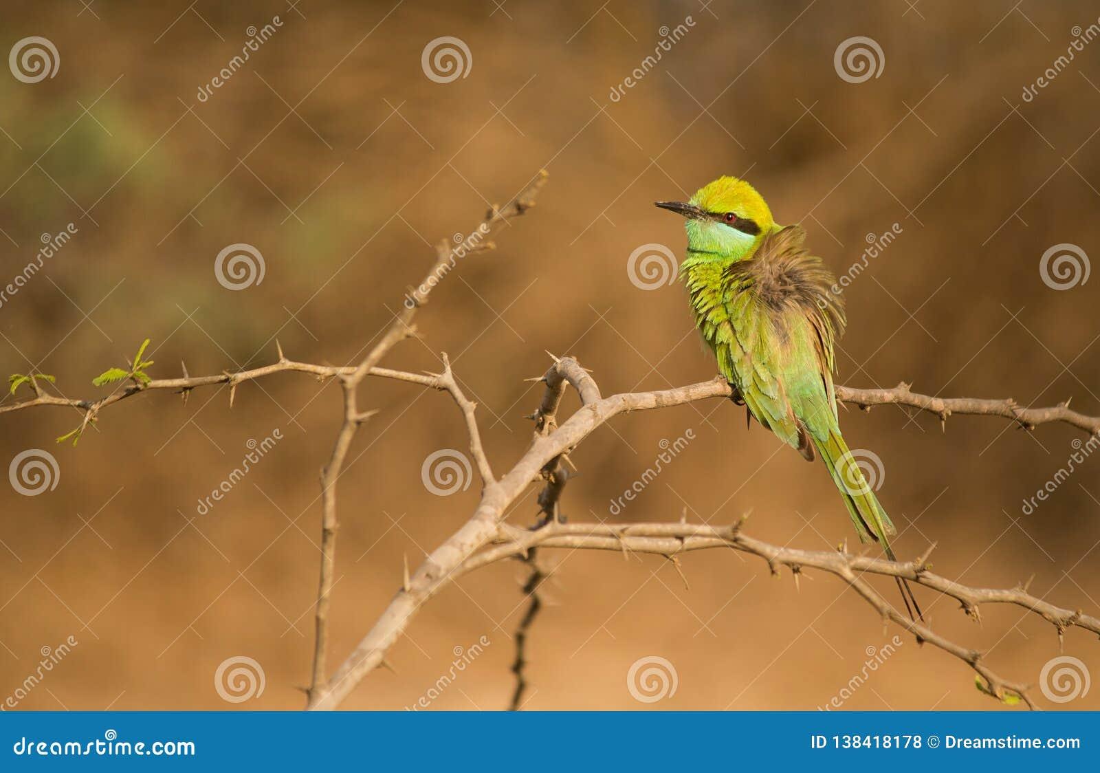 Mooie de eterzitting van de vogel Groene bij op boomtoppositie