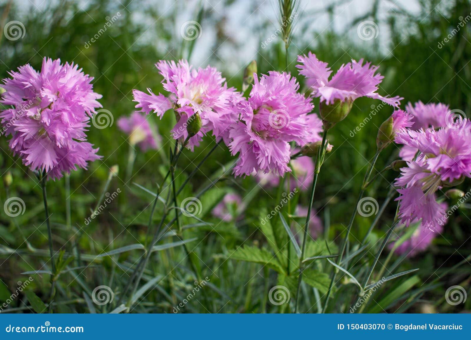 Mooie de lente roze anjers en elegantiebloem