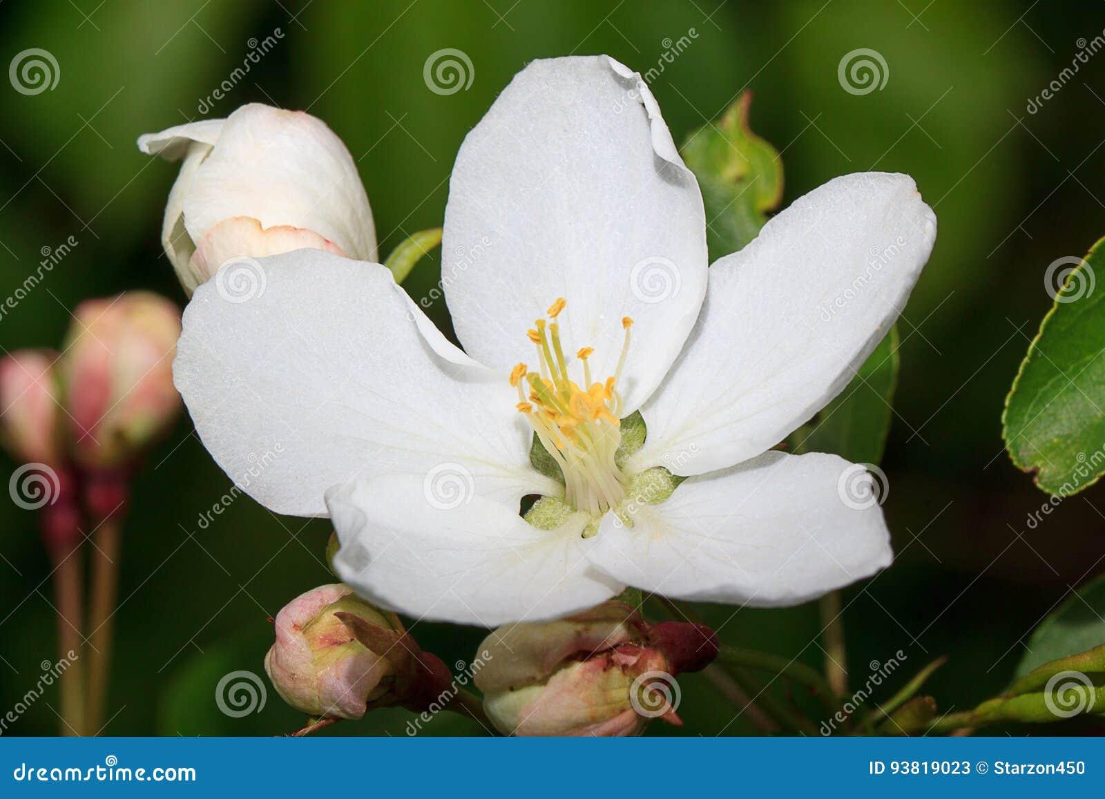 Mooie de lentebloemen van een appelboom op een bloesemweide