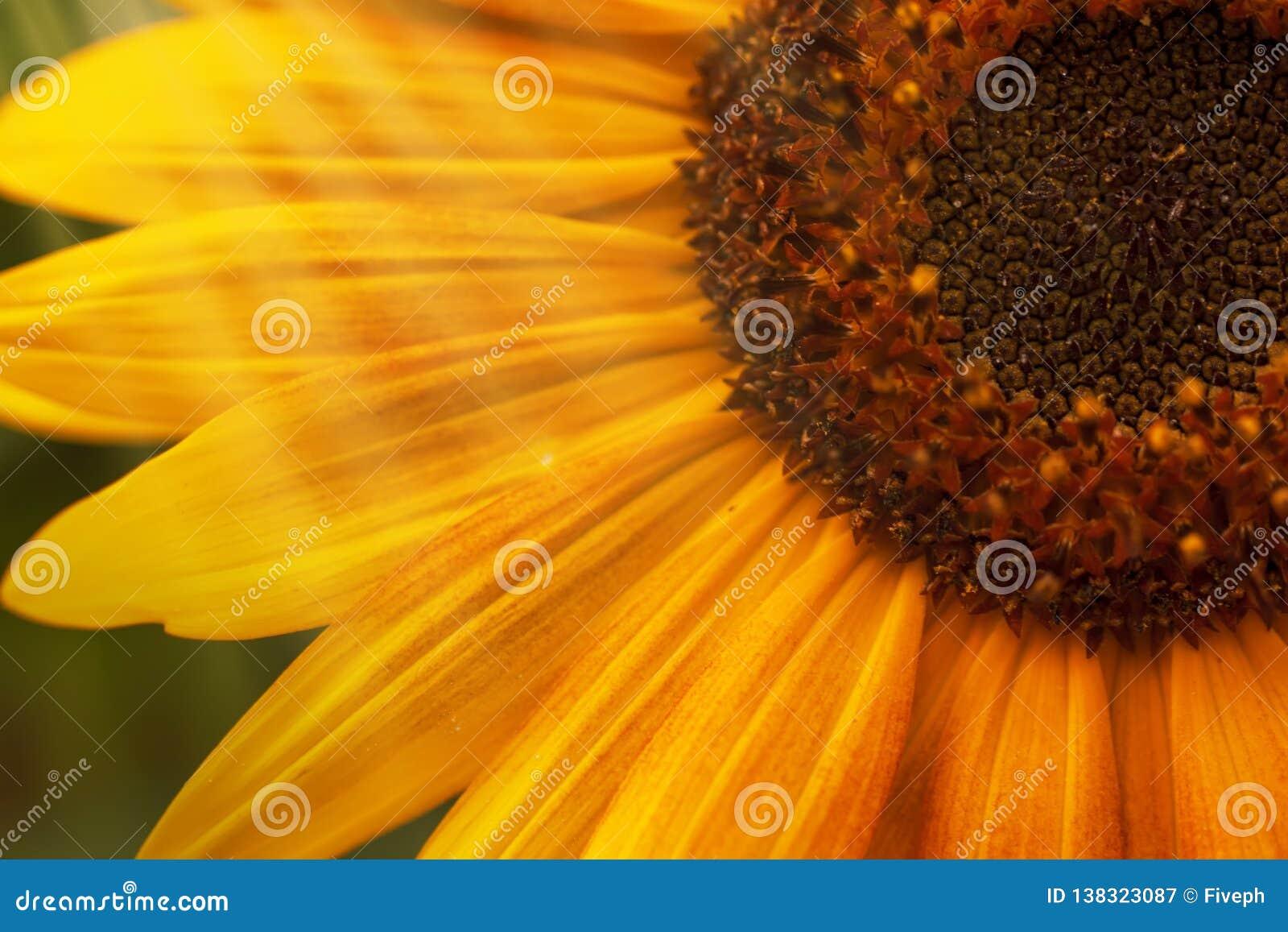 Mooie de zomerzonnebloemen, natuurlijke vage achtergrond, selectieve nadruk, ondiepe diepte van gebied