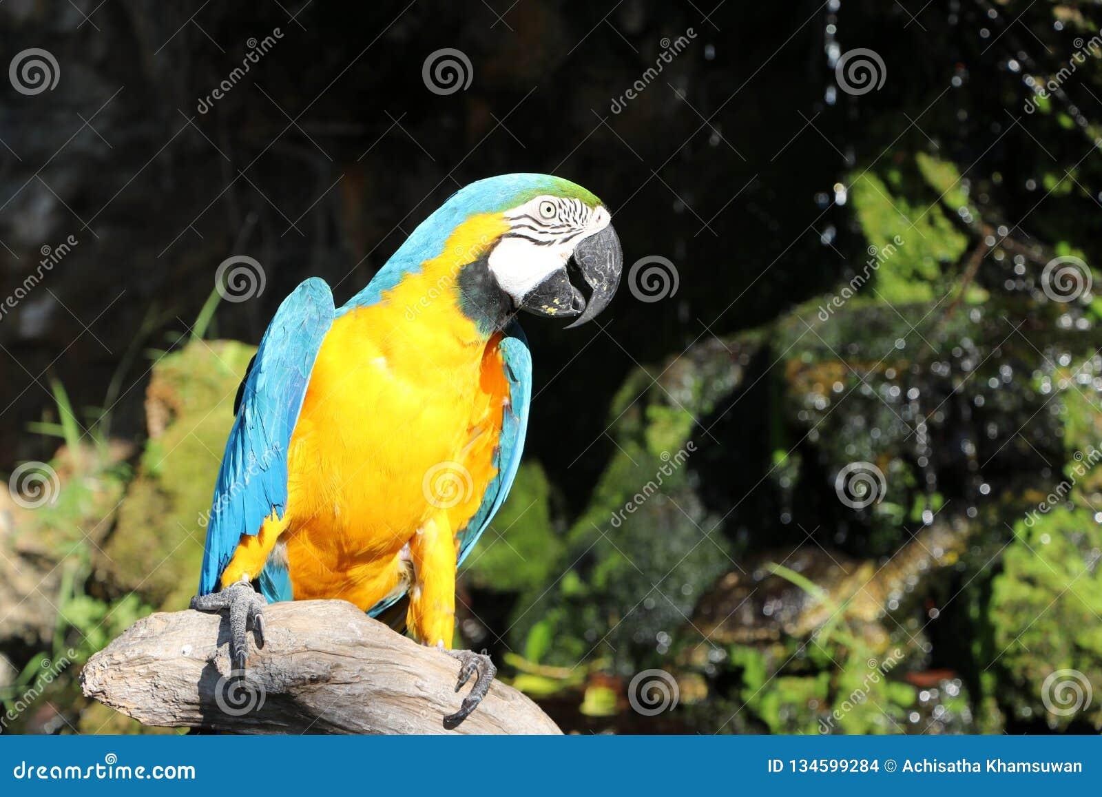 Mooie die de vogelpapegaai van de Macorevogel op het droge hout wordt neergestreken