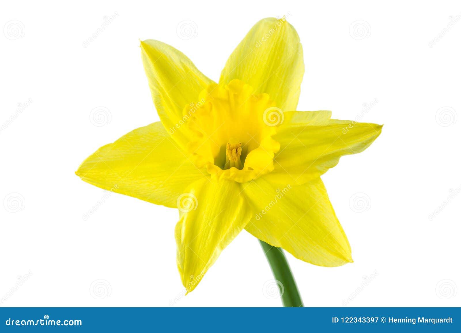 Mooie die gele narcisbloem op witte achtergrond wordt geïsoleerd