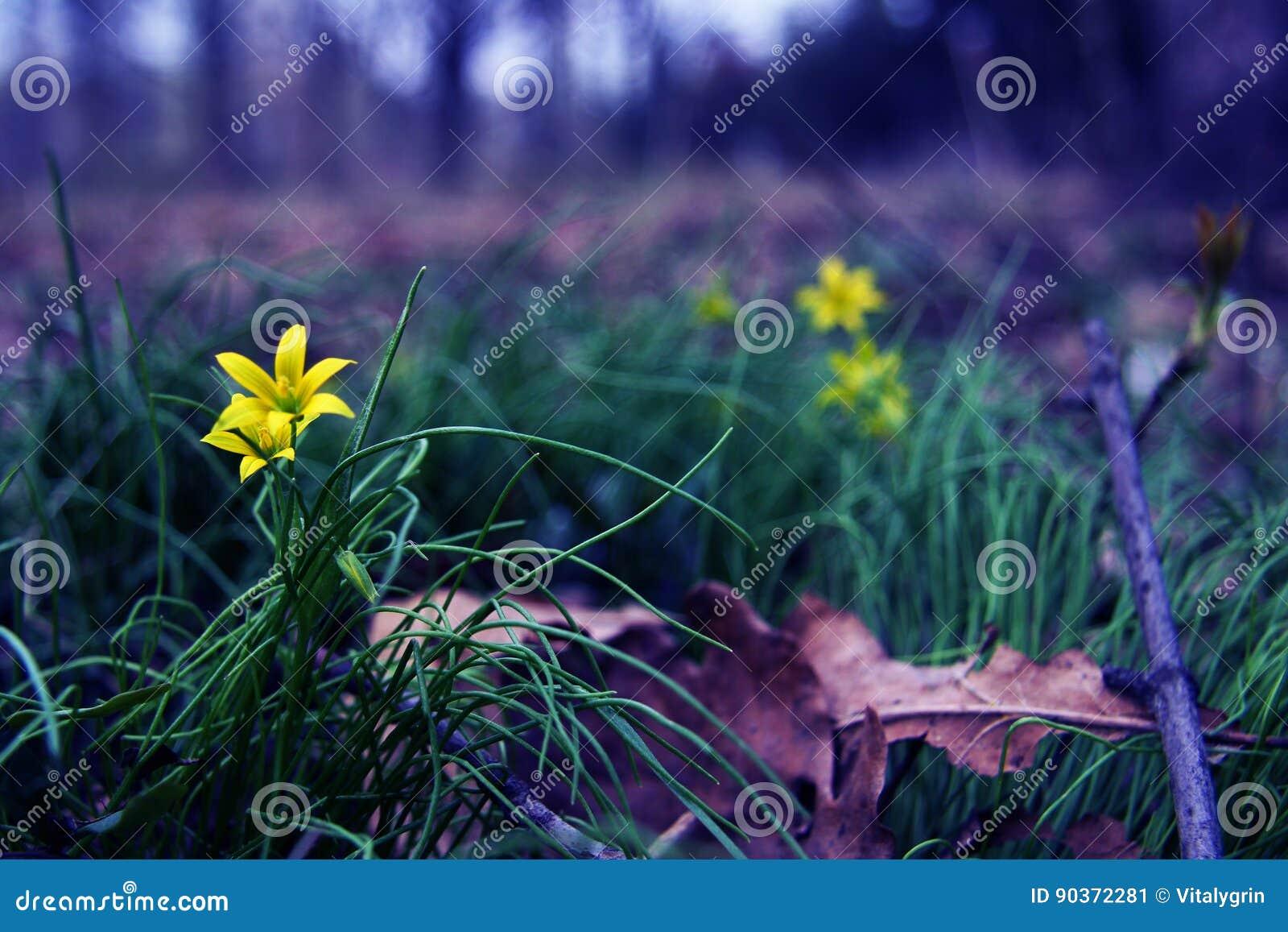 Mooie gele bloemen onder het gras en de bladeren Aard en de lente Dacha, bos of park