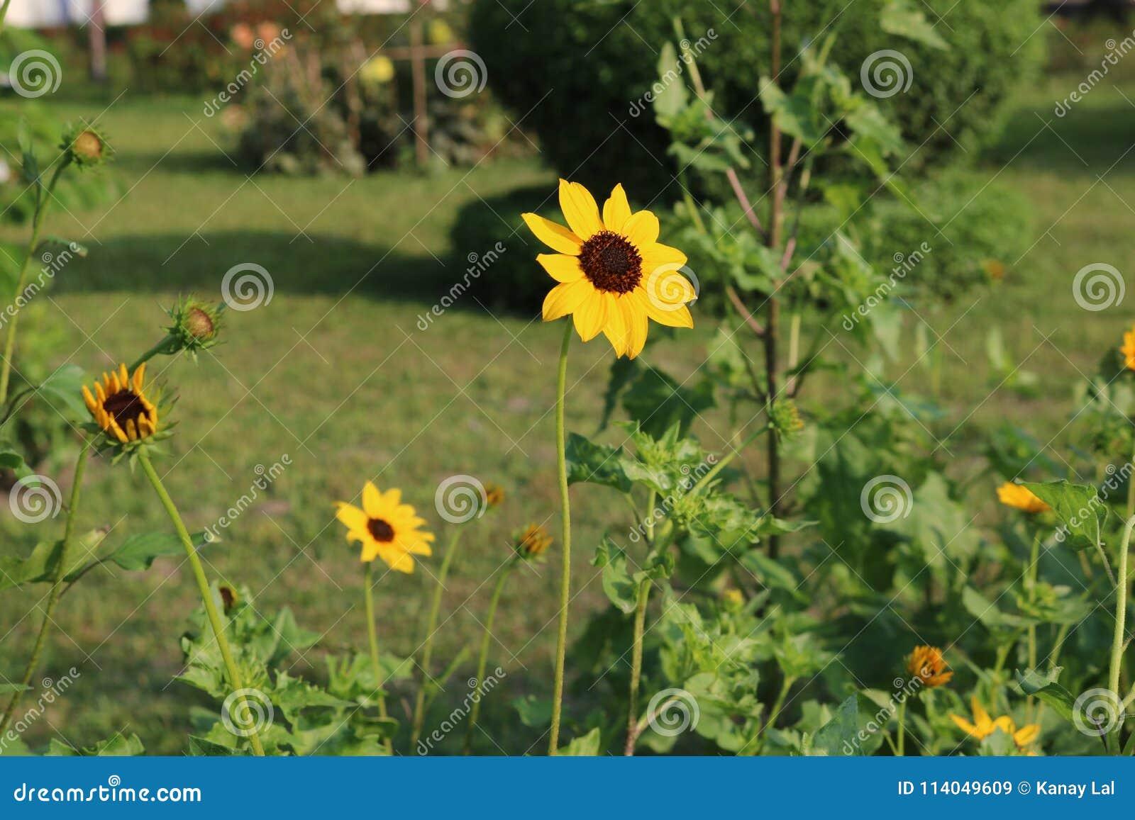 Mooie Gele Zonnebloem in Bangladesh Dit die beeld door me van Rangpur Jamidar Bari Flower Garden wordt gevangen
