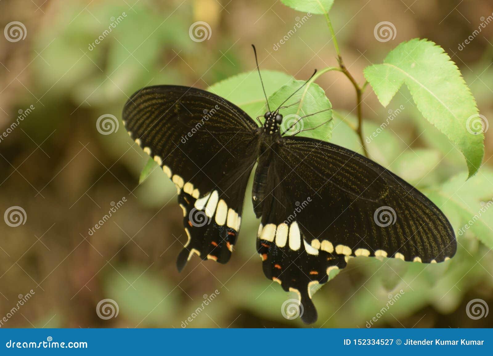 Mooie gemeenschappelijke mormoonse mannelijke papilio polytes vlinder