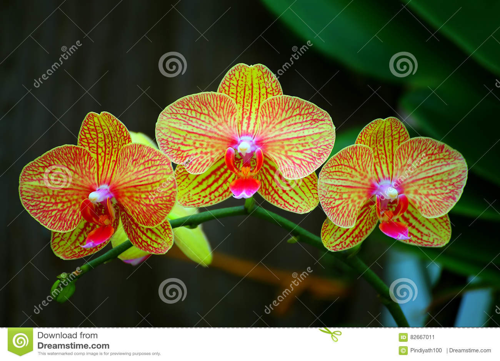 Mooie gouden gele phalaenopsisorchideeën