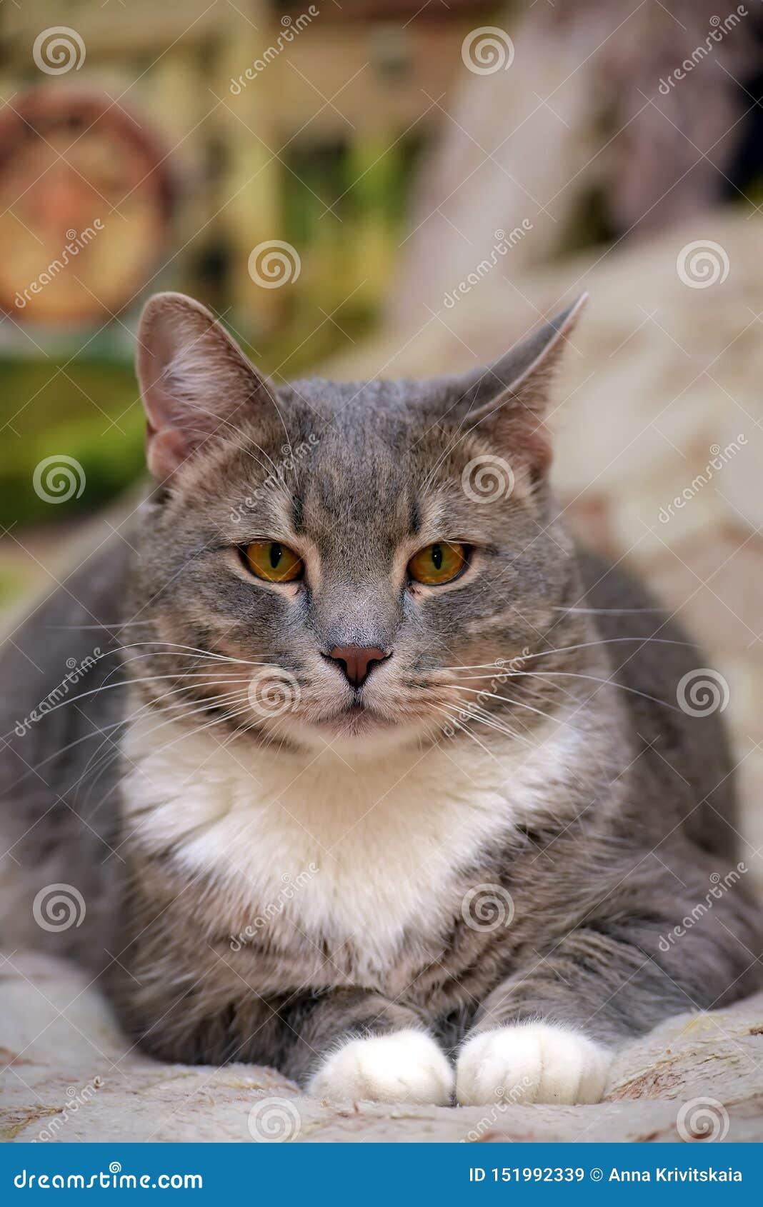 Mooie grijs met witte grote binnenlandse kat