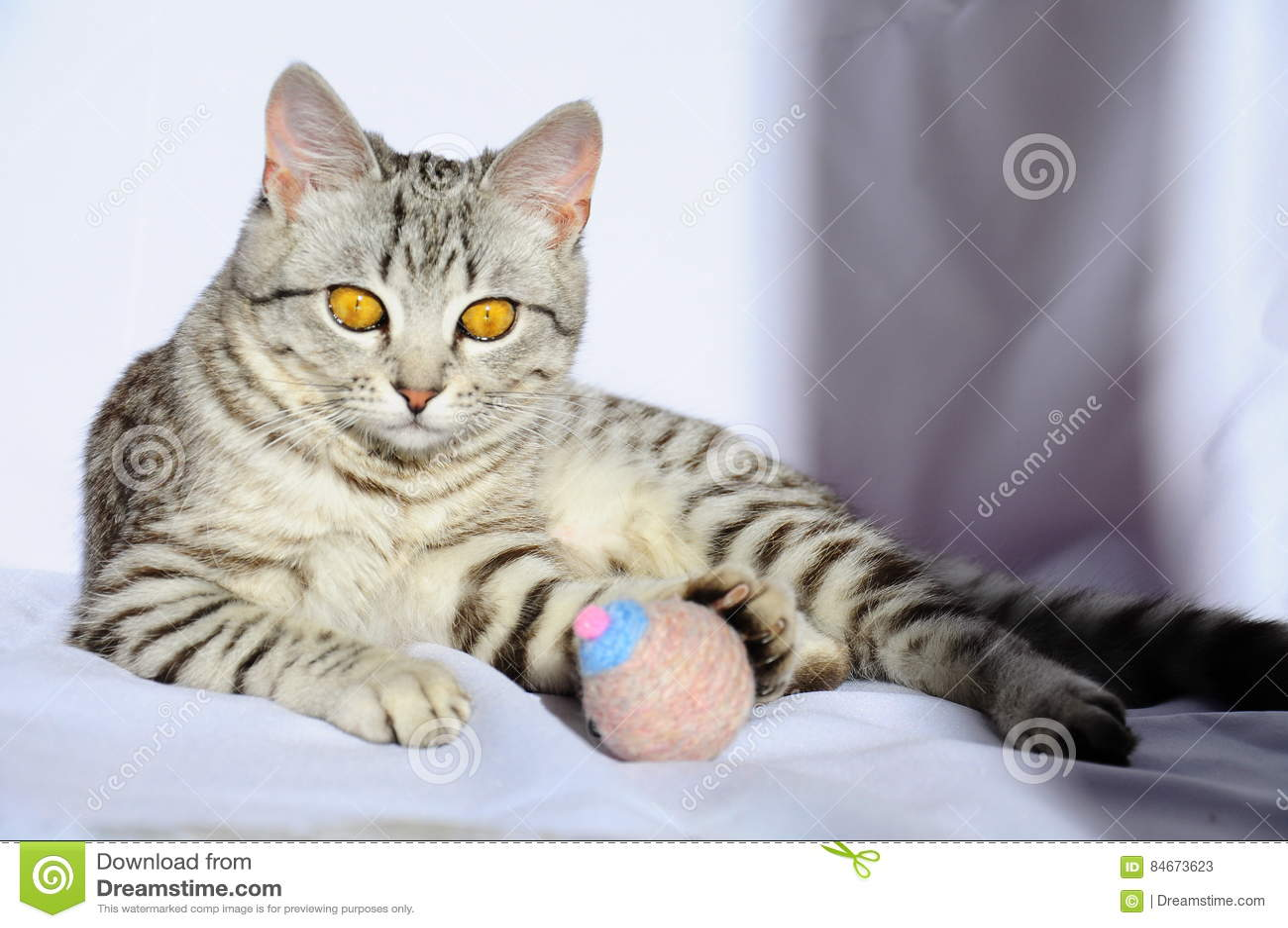 Mooie grijze kat met grote ogen die op de vloer liggen