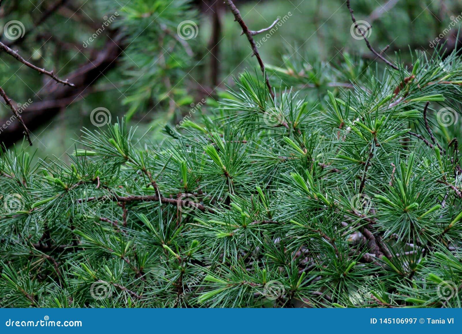 Mooie groene achtergrond van de takken van het close-up van pijnboomnaalden