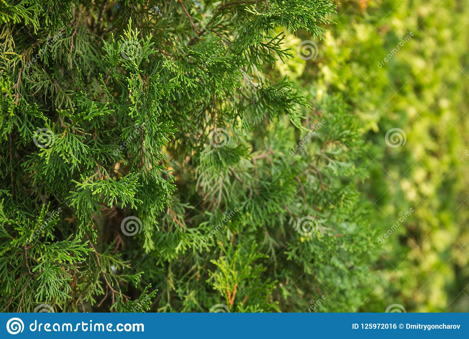 Mooie groene Kerstmisbladeren van Thuja-bomen Het Thujatakje, Thuja-occidentalis is een altijdgroene naaldboom