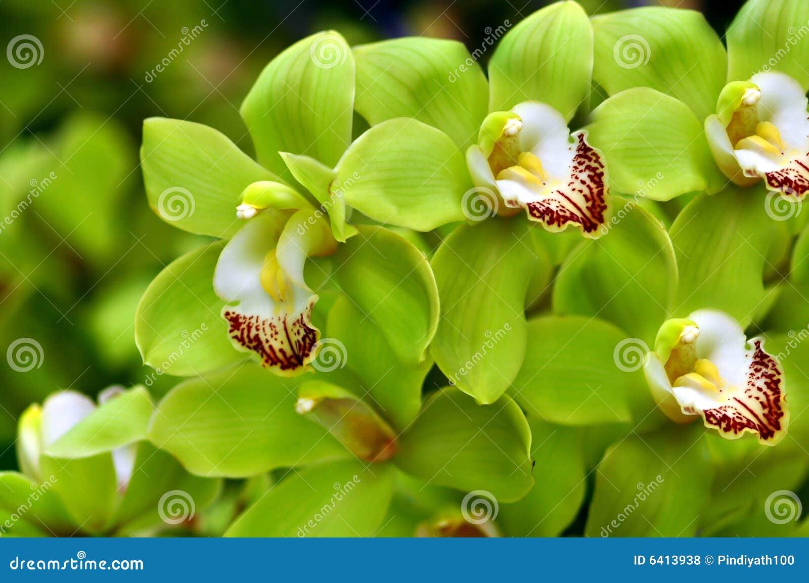 Mooie Groene Orchideeën