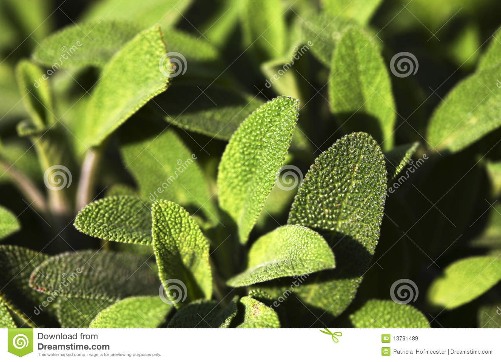 Mooie groene salie
