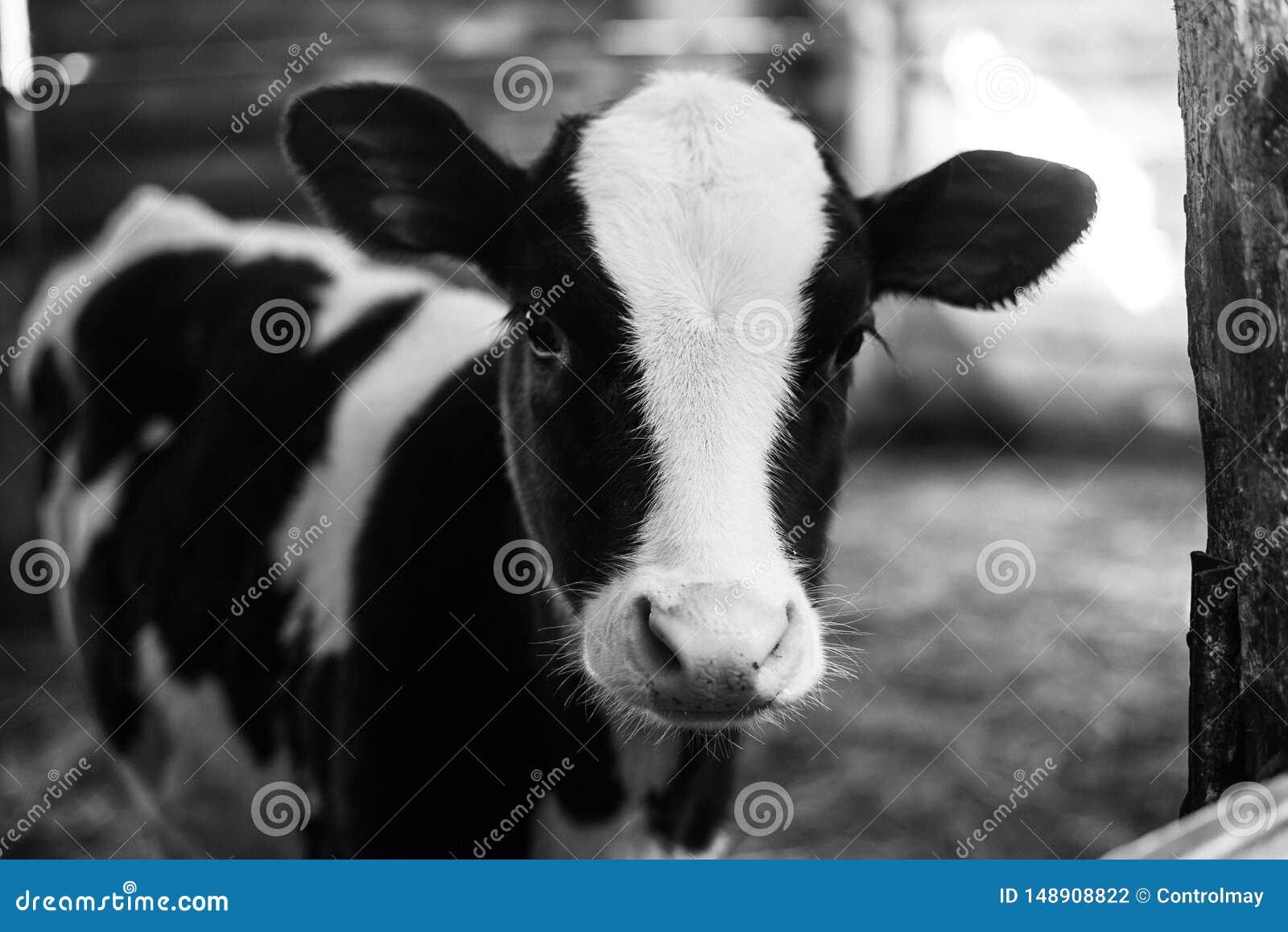 Mooie grote koe op het landbouwbedrijf onder heel wat hooi De Zwart-witte foto van Peking, China