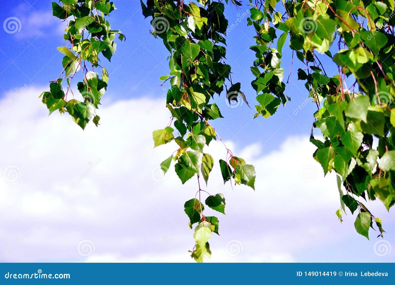 Mooie hangende berktakken tegen een schone blauwe hemel
