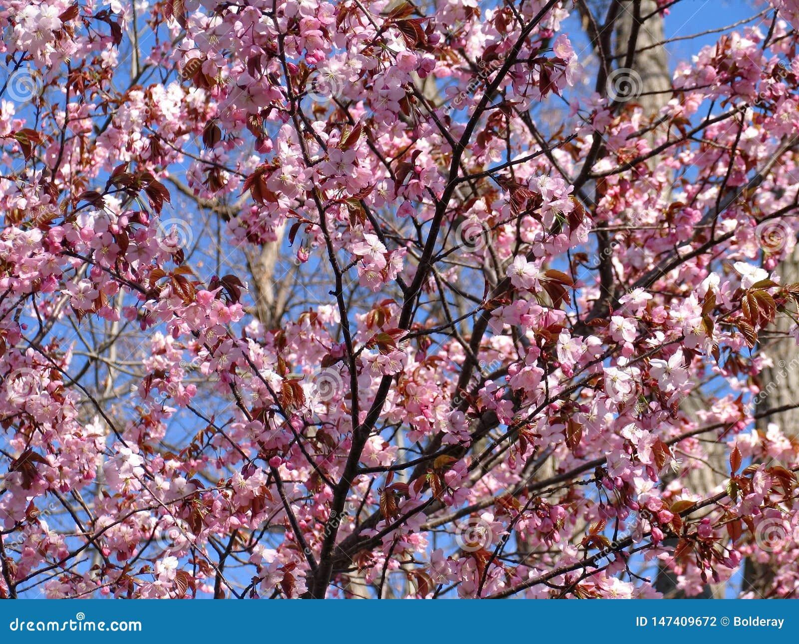 Mooie het bloeien sakura Cherry Blossom In Japan, symboliseert sakura de wolken
