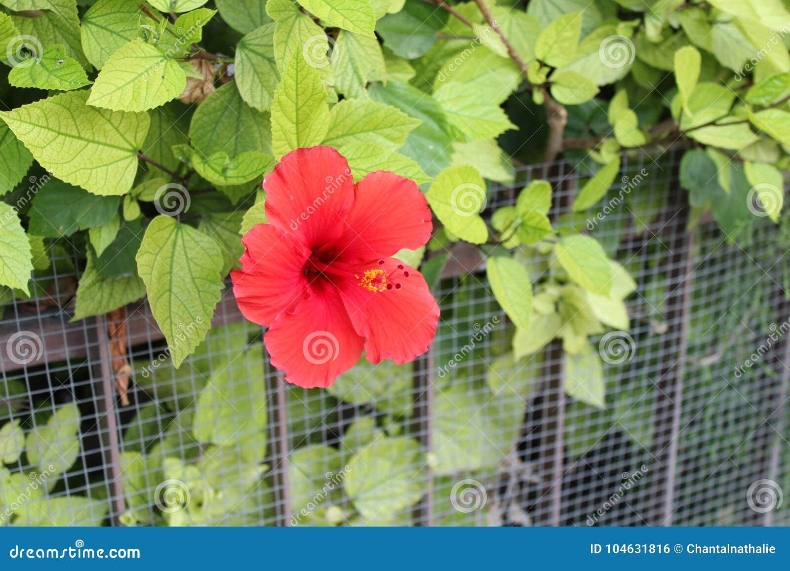 Download Mooie hibiscusbloemen stock foto. Afbeelding bestaande uit achtergrond - 104631816