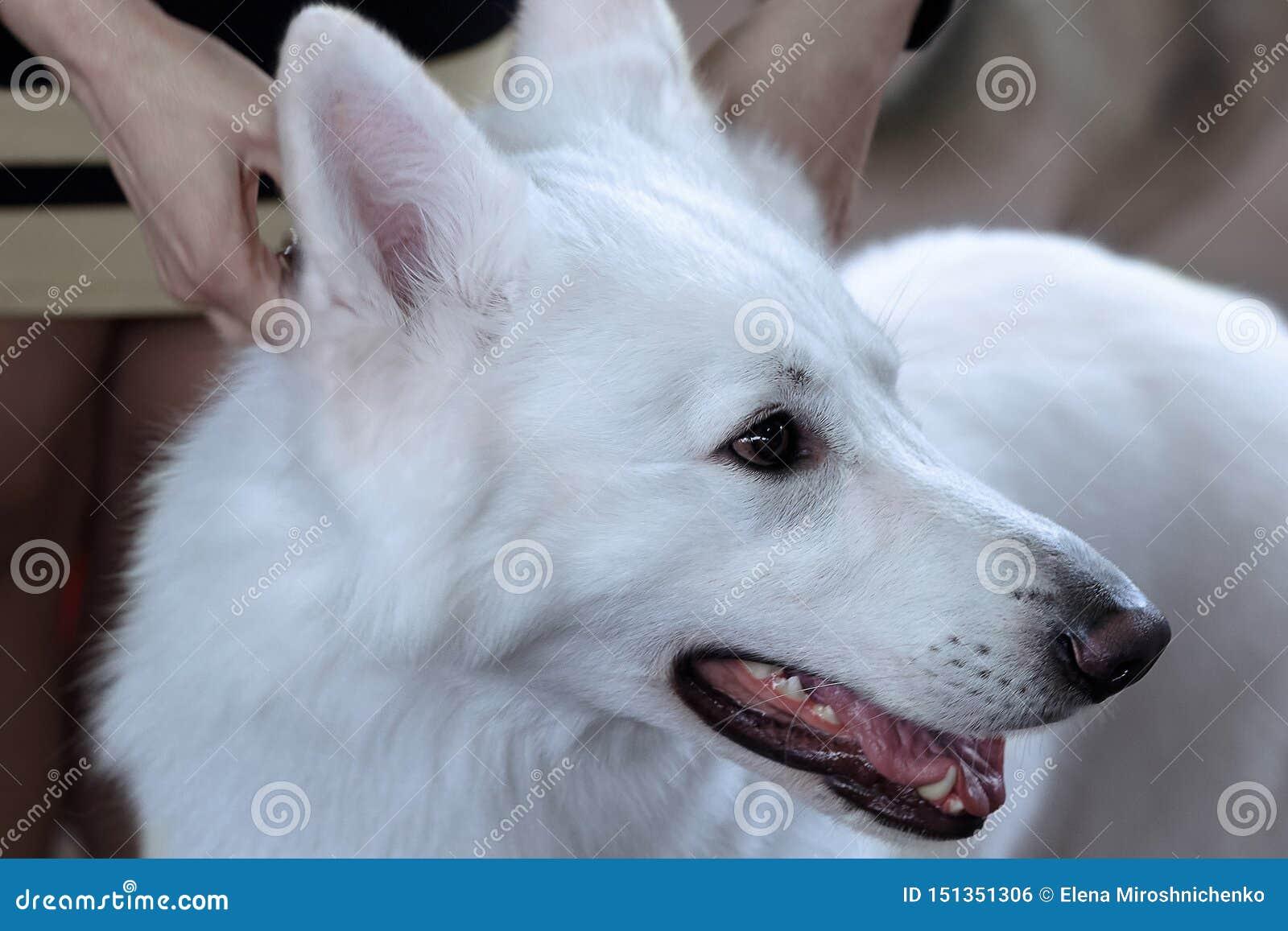 Mooie hond van sneeuw witte kleur Groot wit Zwitsers herdersras Sluit omhoog portret van wijze hond met het gelukkige glimlachen
