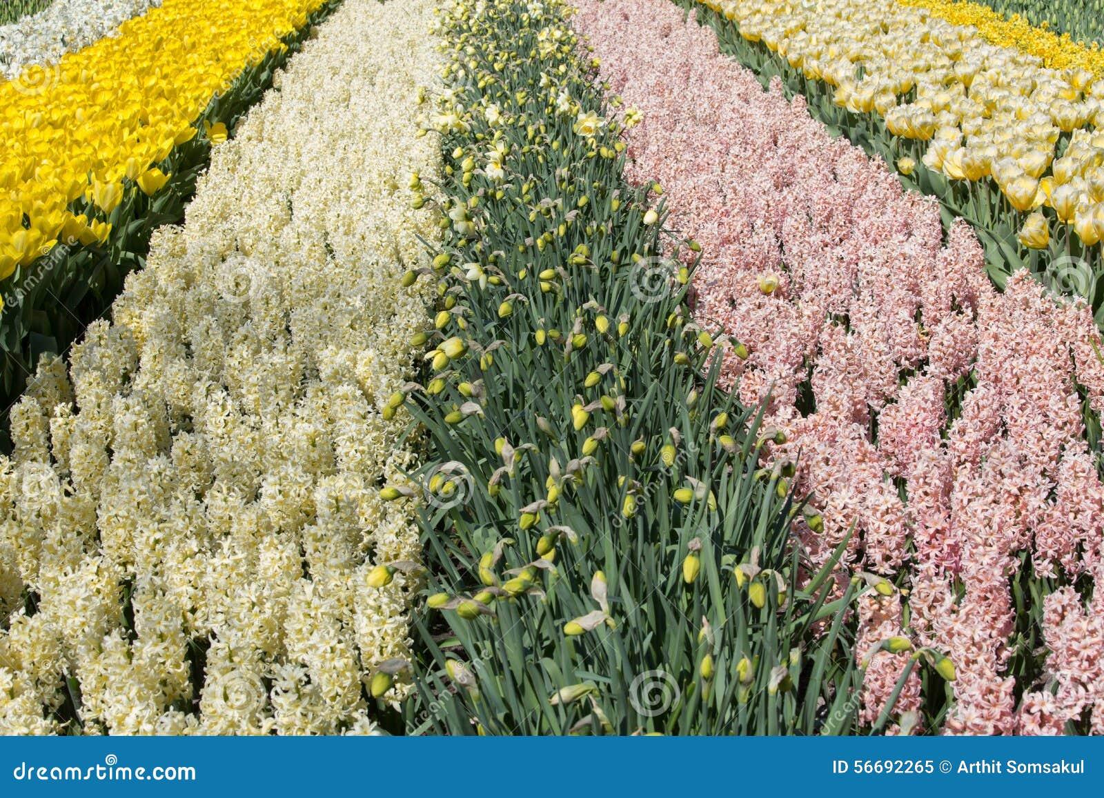 Mooie hyacinten in keukenhof tuinen nederland stock afbeelding