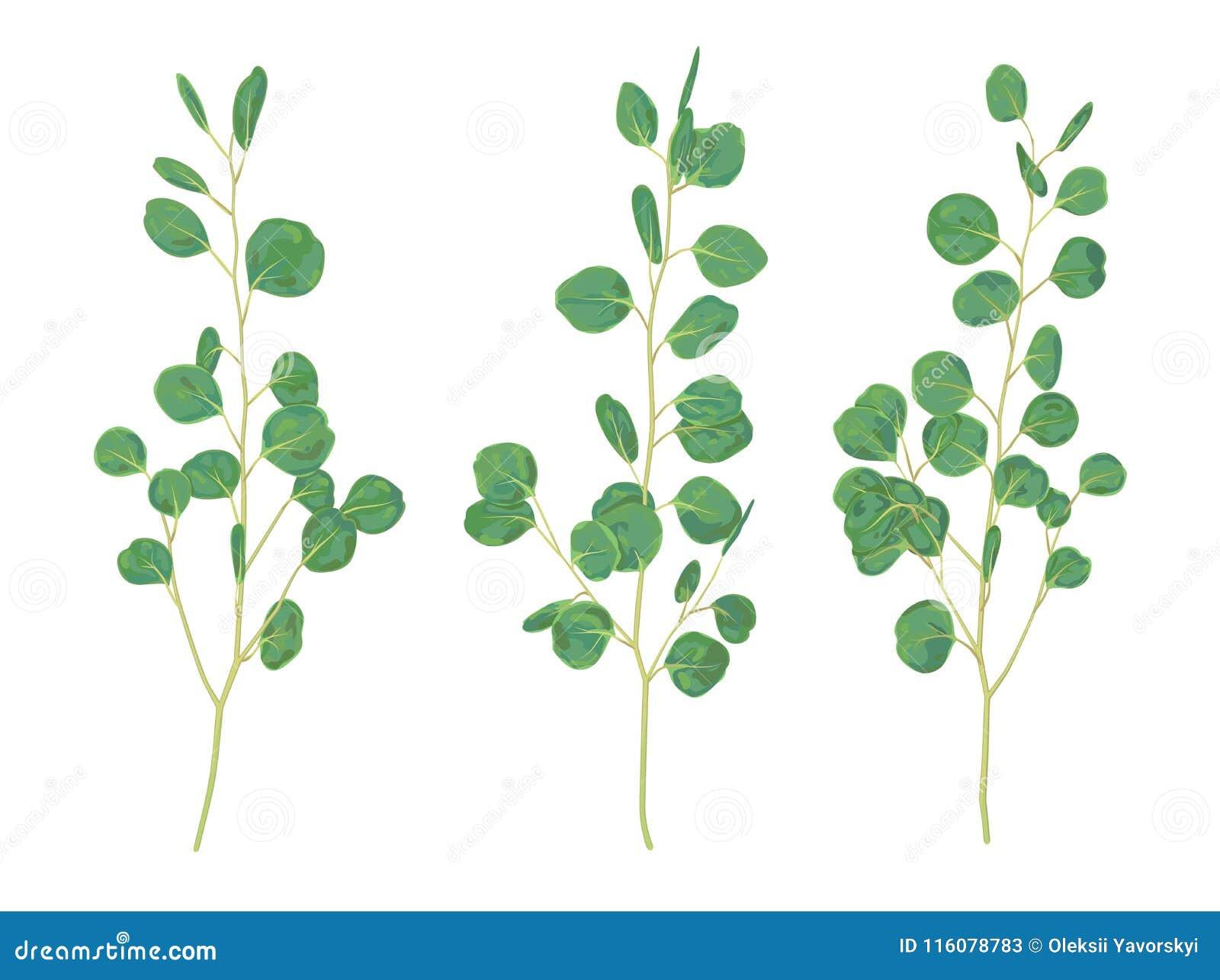 Mooie illustratie van takken en bladeren van eucalyptus silv