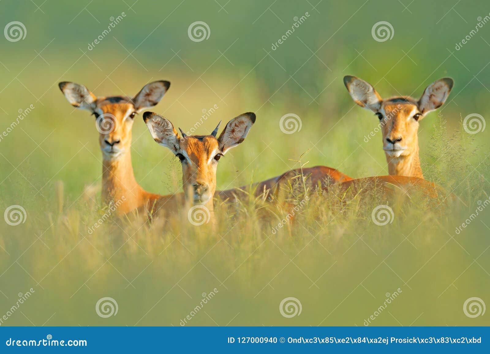 Mooie impala s in het gras met avondzon, verborgen portret in vegetatie Dier in de wilde aard Zonsondergang in Afrika wildl