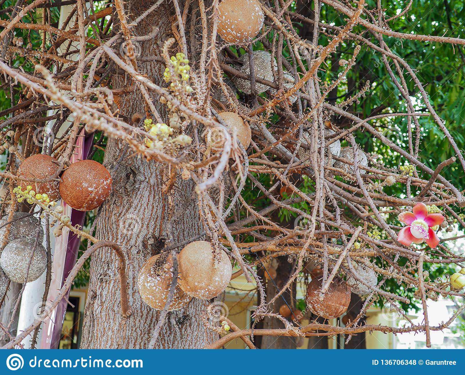 Mooie kanonskogelbloem van boombloei in het park