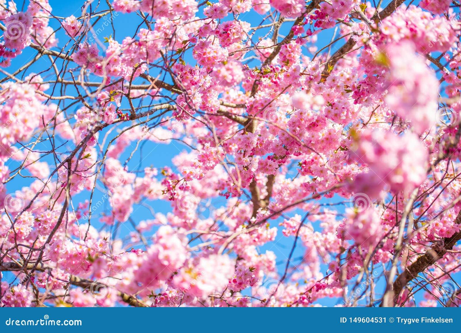 Mooie kersenbloesem op een zonnige de lentedag