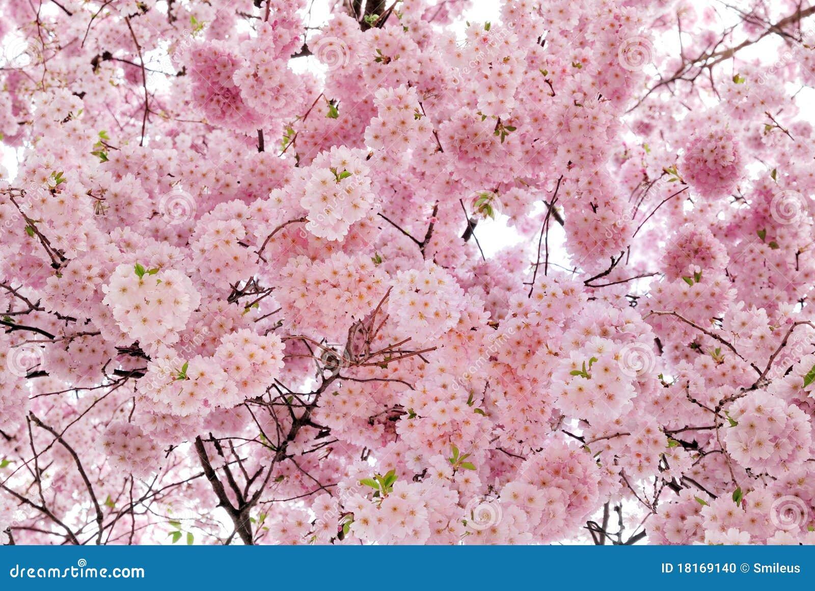 Mooie kersenbloesems die het frame vullen