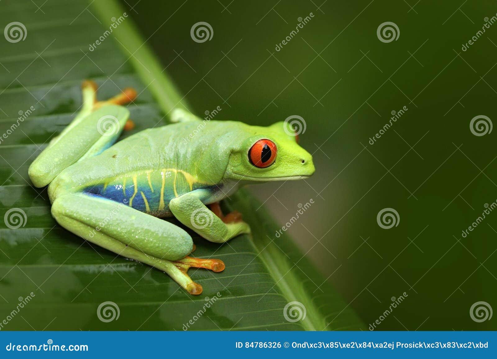 Mooie kikker in bos, exotisch dier van Midden-Amerika Rood-eyed Boomkikker, Agalychnis-callidryas, dier met grote rode ogen,