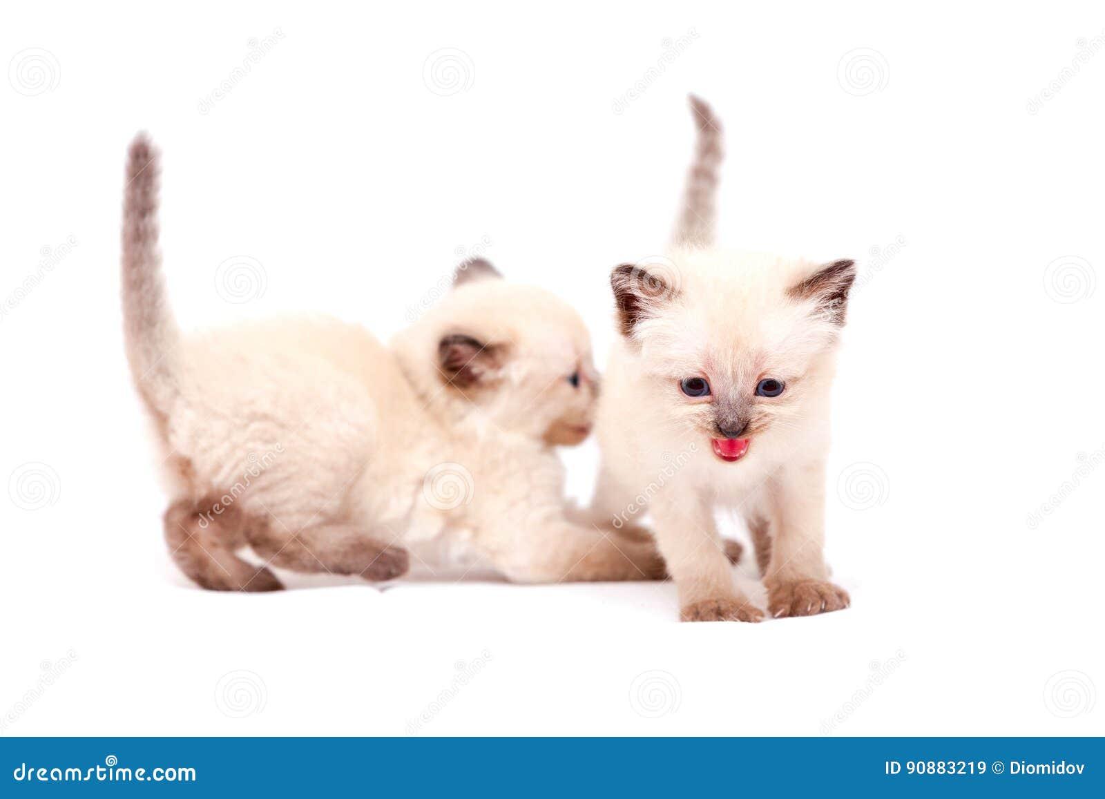 Mooie kleine siamese katjes één die op camera op witte achtergrond mauwen Geïsoleerdj op witte achtergrond