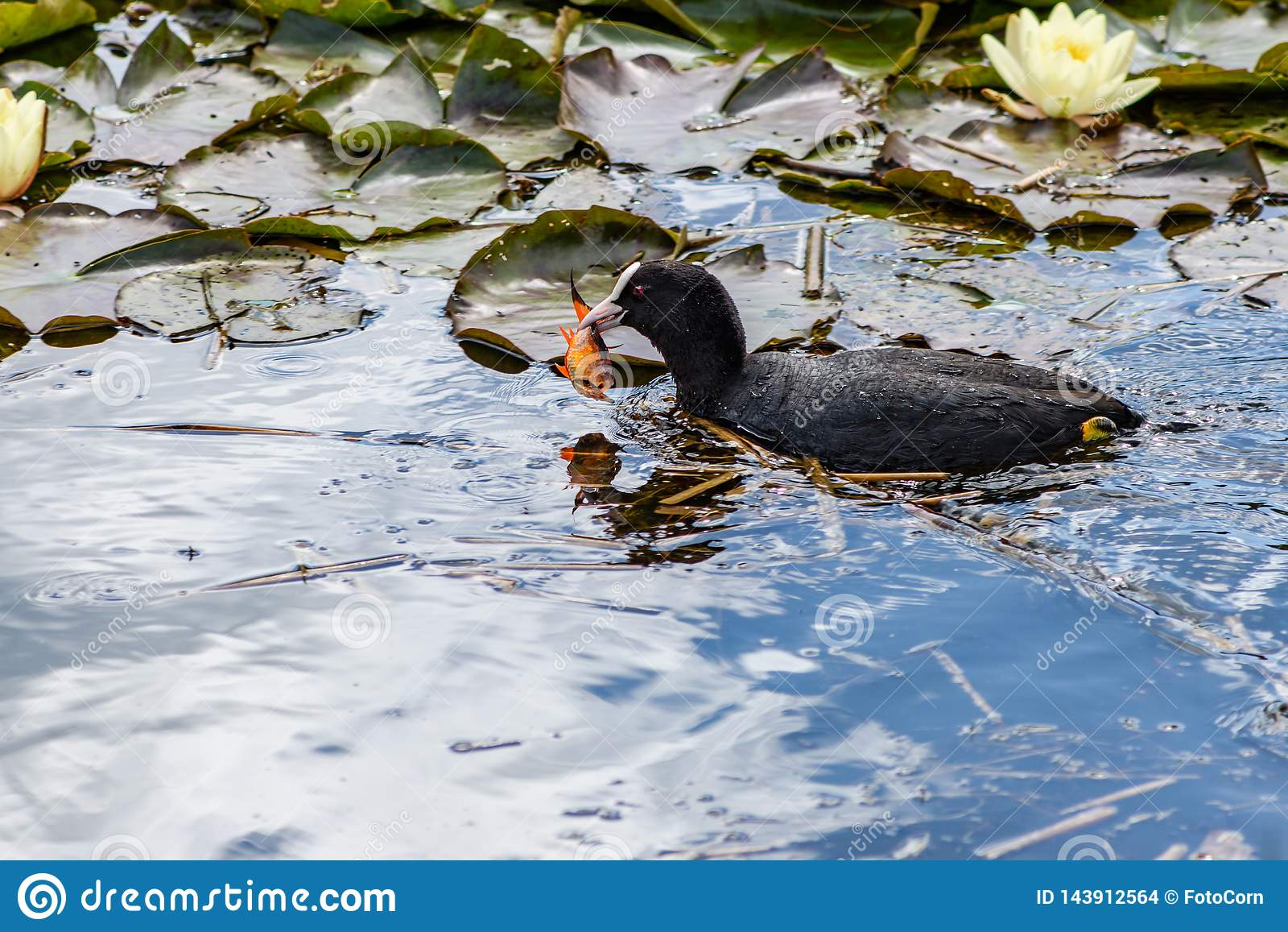 Mooie koet in een vijver met waterlelies en een goudvis in zijn bek