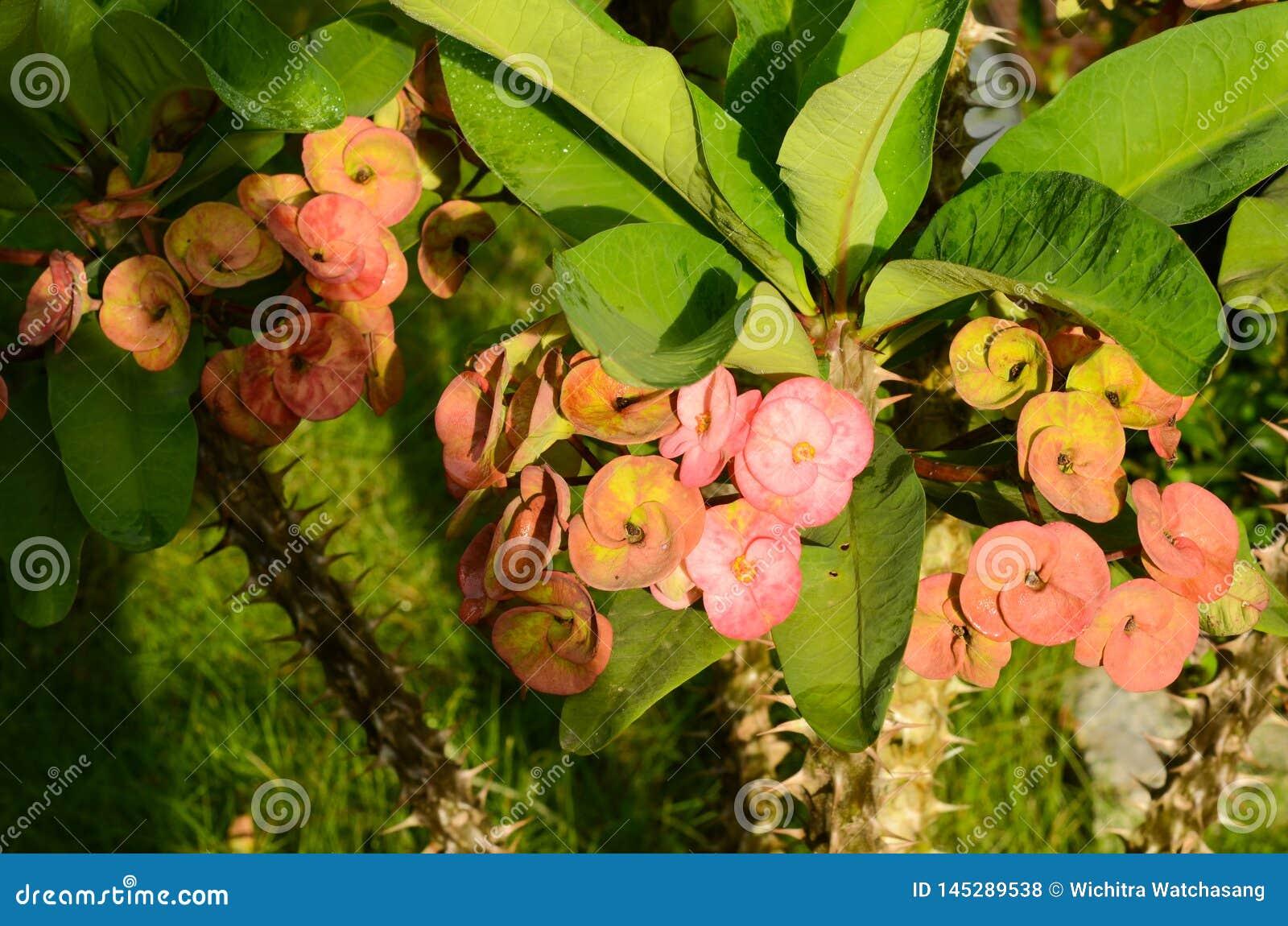 Mooie kroon van doornenbloem met blad en groene achtergrond