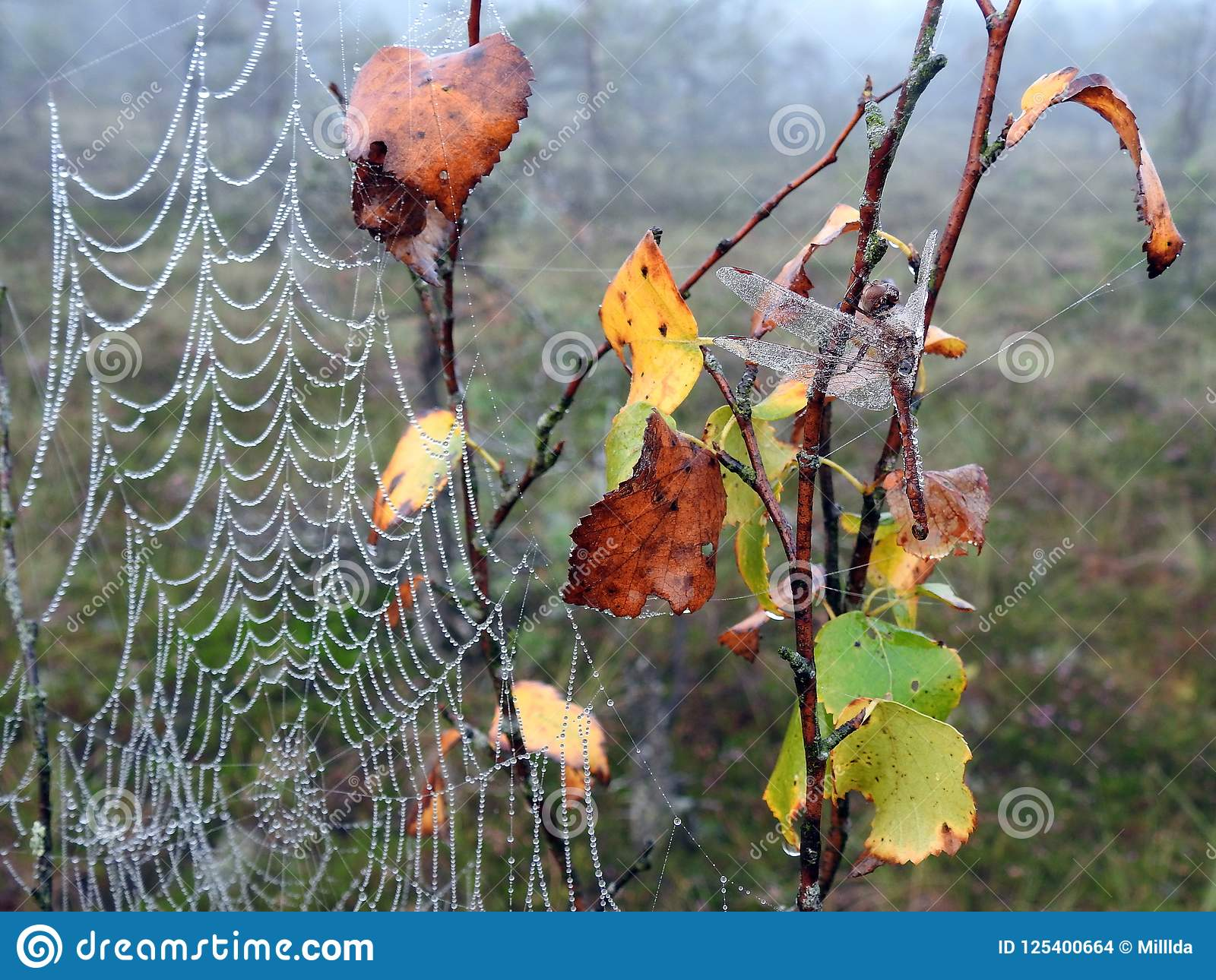 Mooie libel en spin netto met ochtenddauw, Litouwen