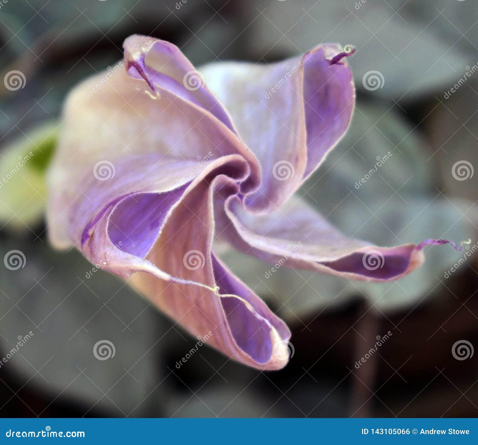 Mooie lotusbloembloem in tuin Lotus-bloemachtergrond Lotus-bloemtextuur