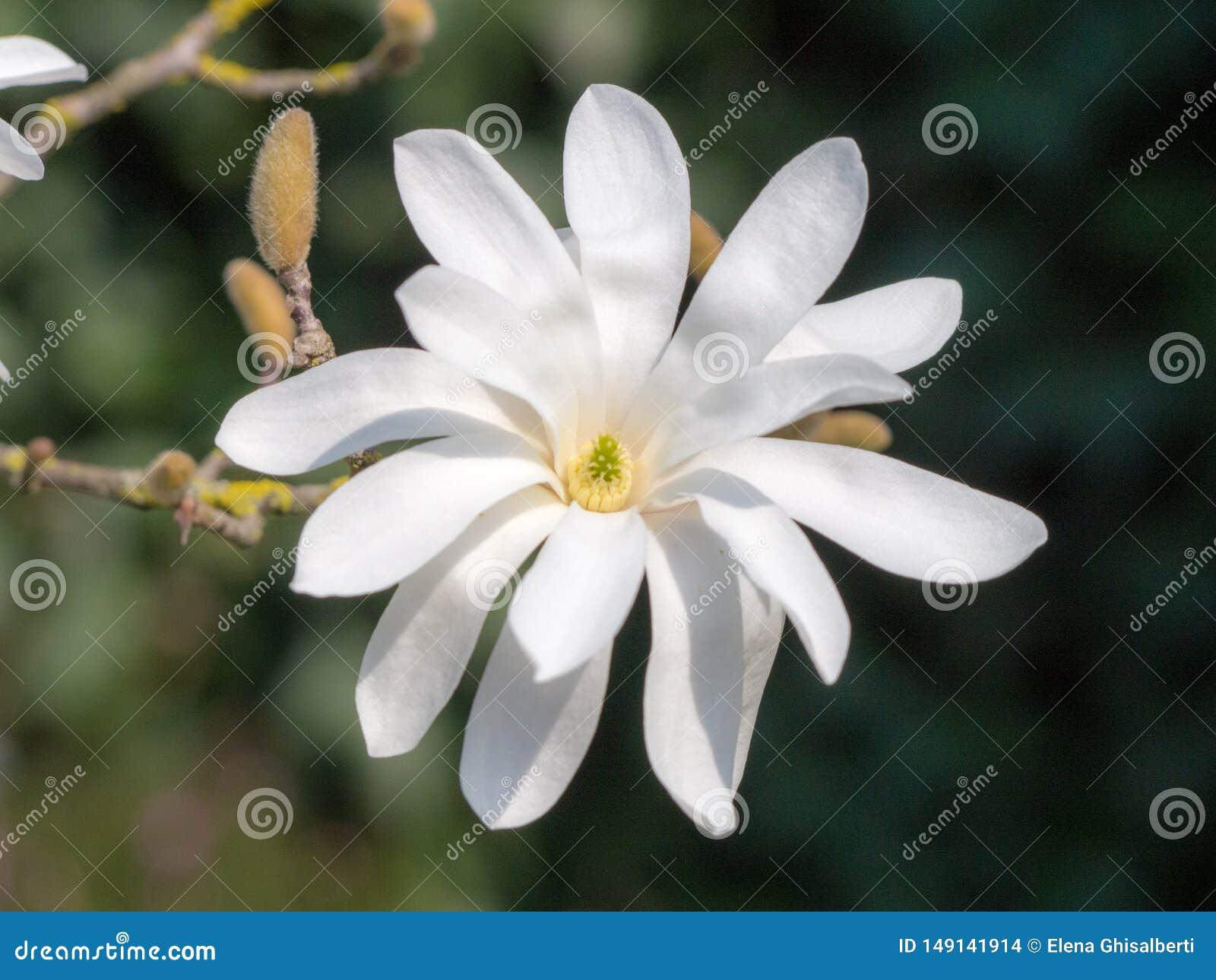 Mooie magnoliastellata in een tuin