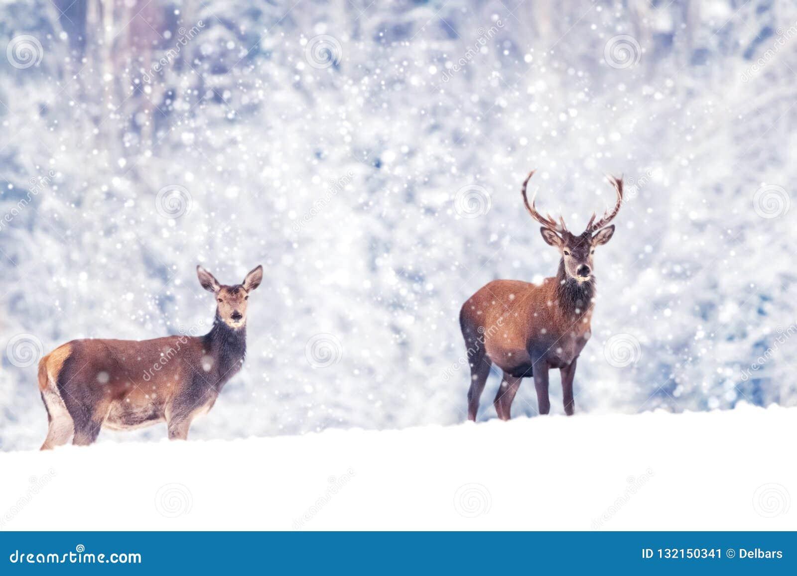 Mooie mannelijke en vrouwelijke edele herten in het sneeuw witte bos Artistieke beeld van de Kerstmiswinter De wintersprookjeslan