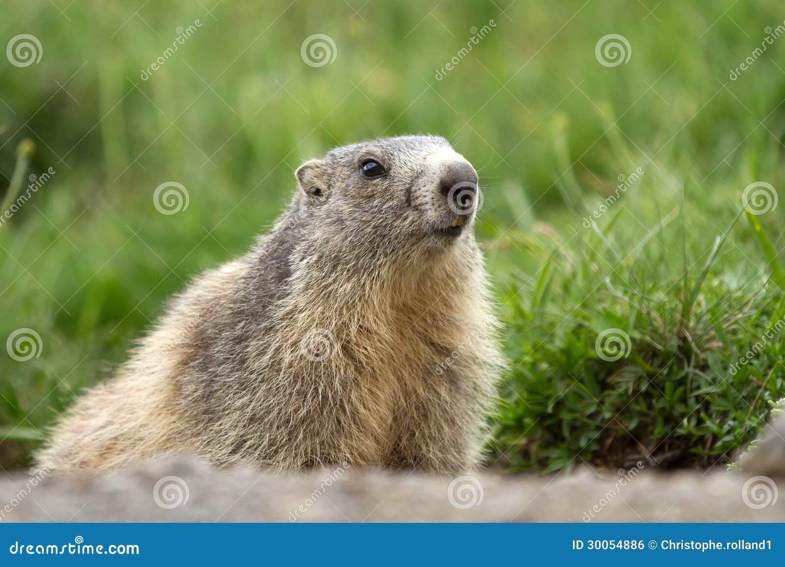 Een marmot in de alpen