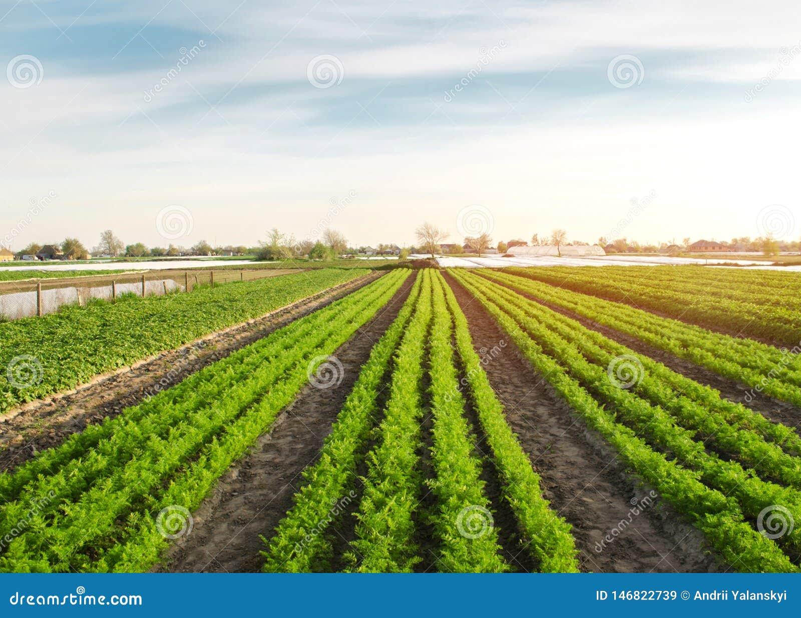 Mooie mening van wortelaanplanting het groeien op een gebied Organische groenten farming Landbouw Selectieve nadruk
