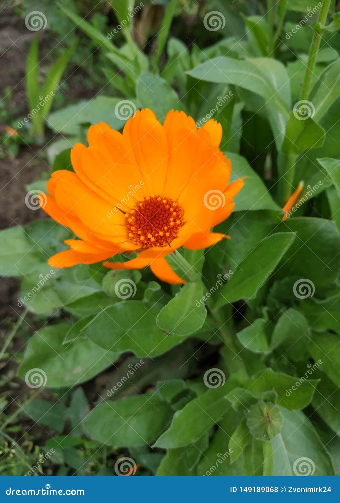 Mooie oranje bloem Het proberen om zich op wind te bevinden