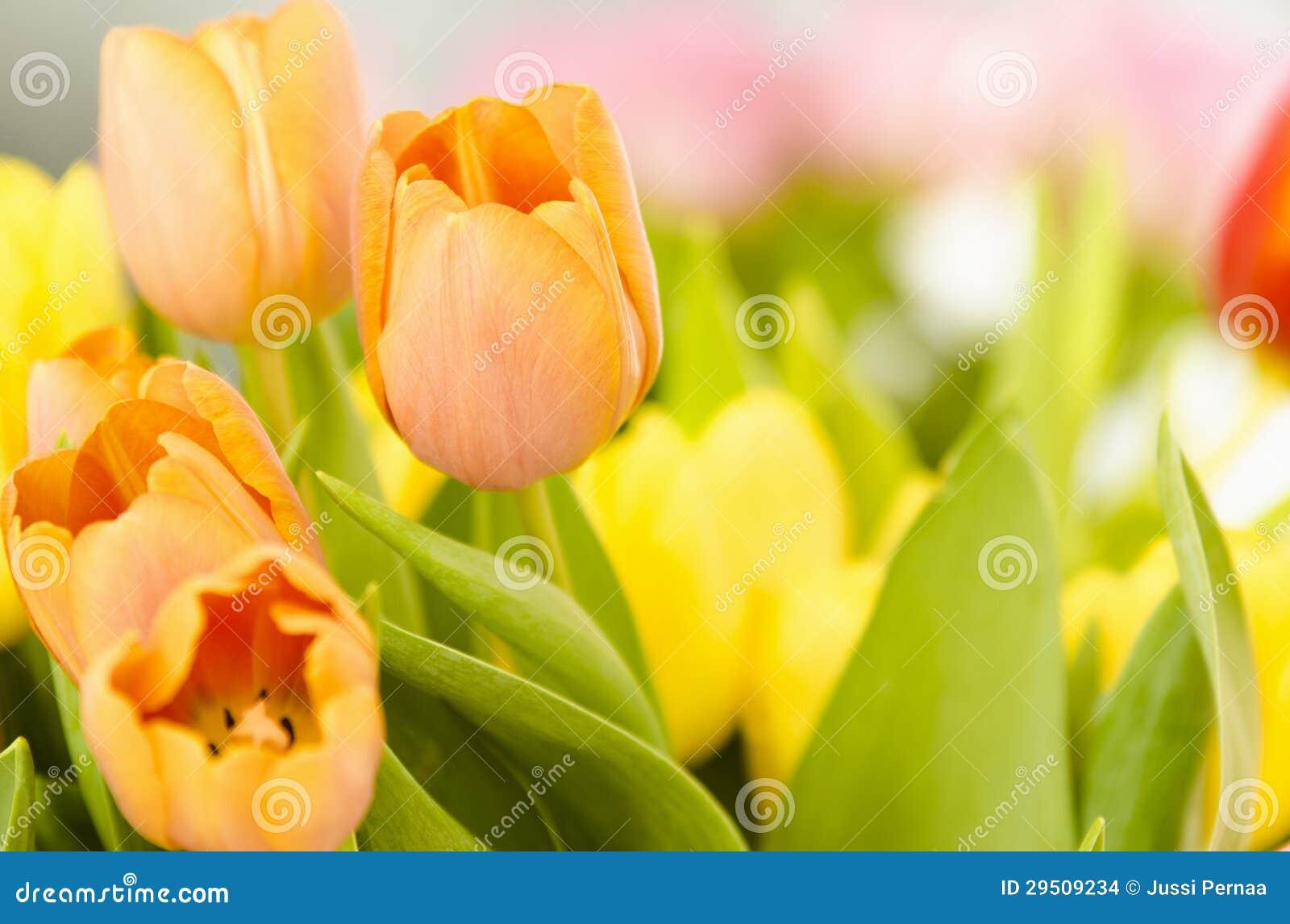 Mooie oranje tulpen.