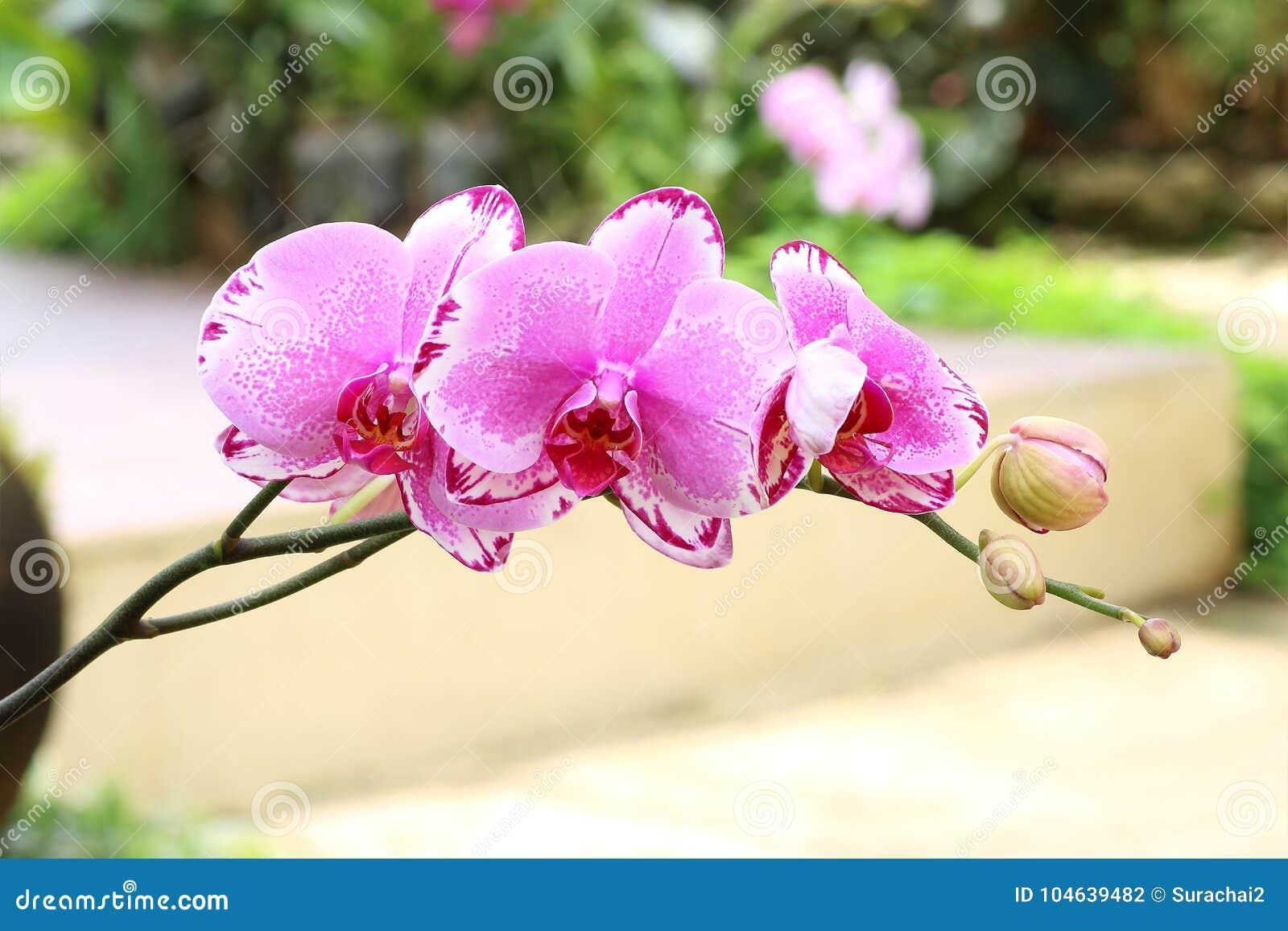 Download Mooie Orchideebloem In Tuin Stock Foto - Afbeelding bestaande uit summer, decoratie: 104639482