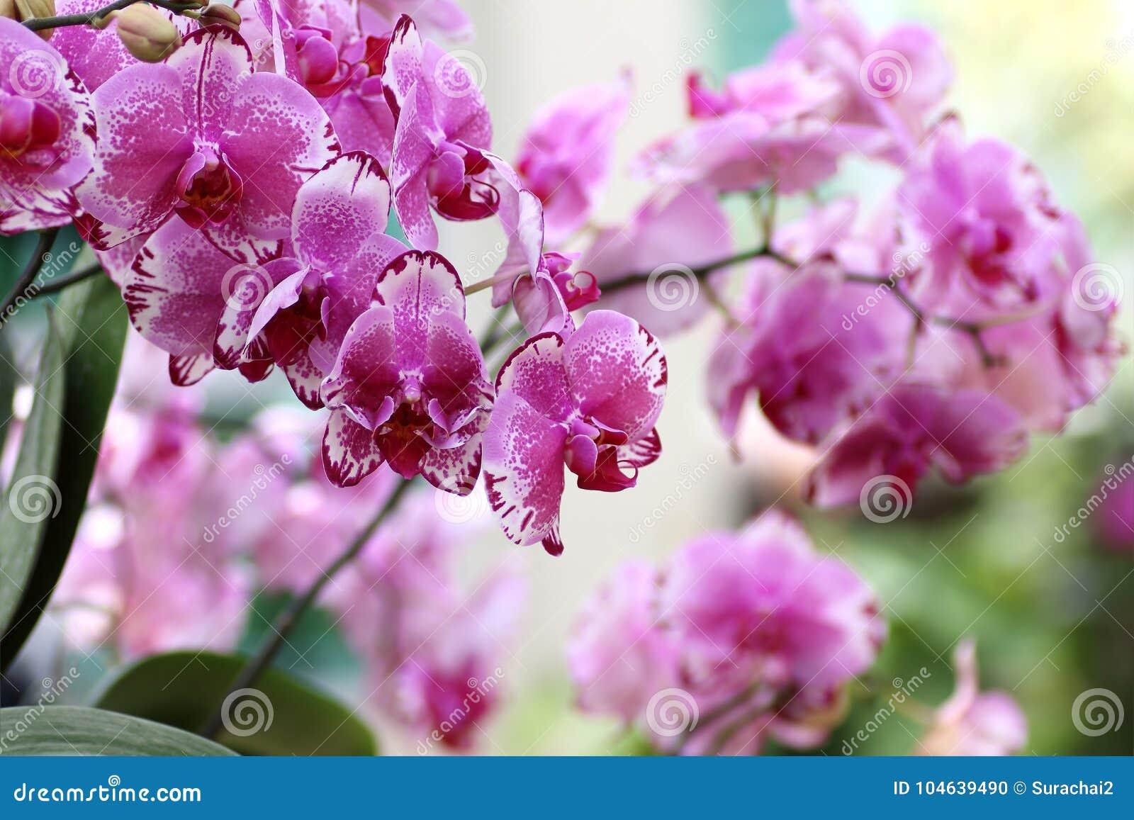 Download Mooie Orchideebloem In Tuin Stock Foto - Afbeelding bestaande uit vers, achtergrond: 104639490