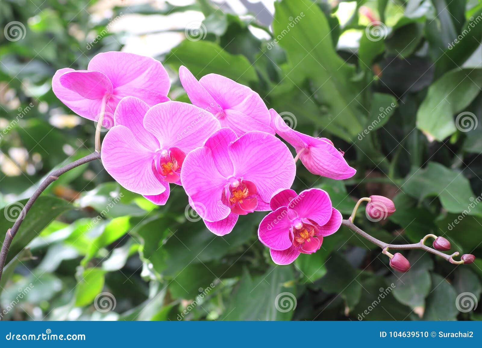 Download Mooie Orchideebloem In Tuin Stock Foto - Afbeelding bestaande uit nave, schoonheid: 104639510
