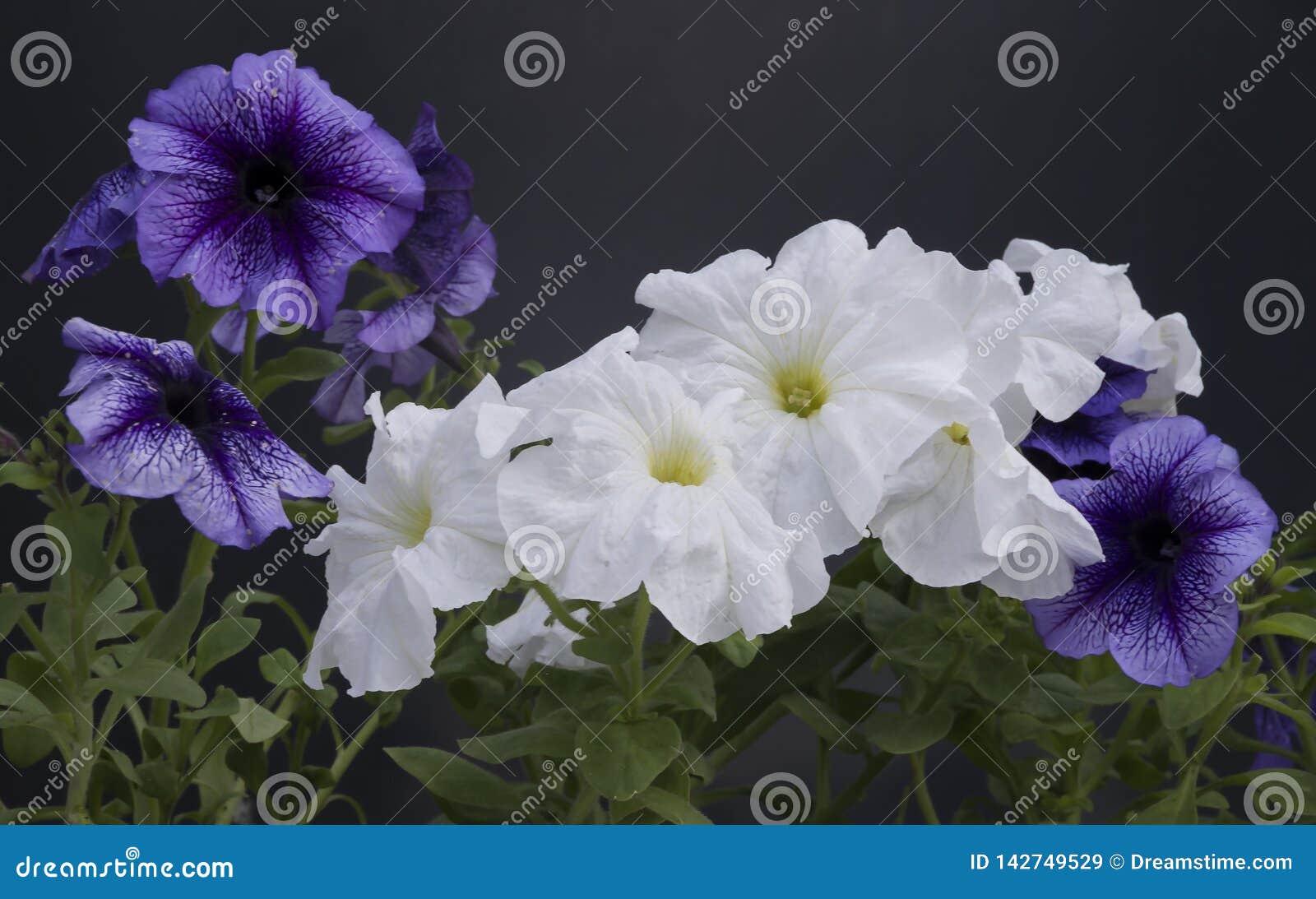Mooie petuniabloemen in een pot tegen een donkere achtergrond