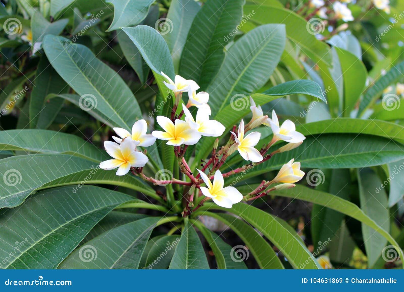 Download Mooie plumeriabloemen stock afbeelding. Afbeelding bestaande uit plantkunde - 104631869