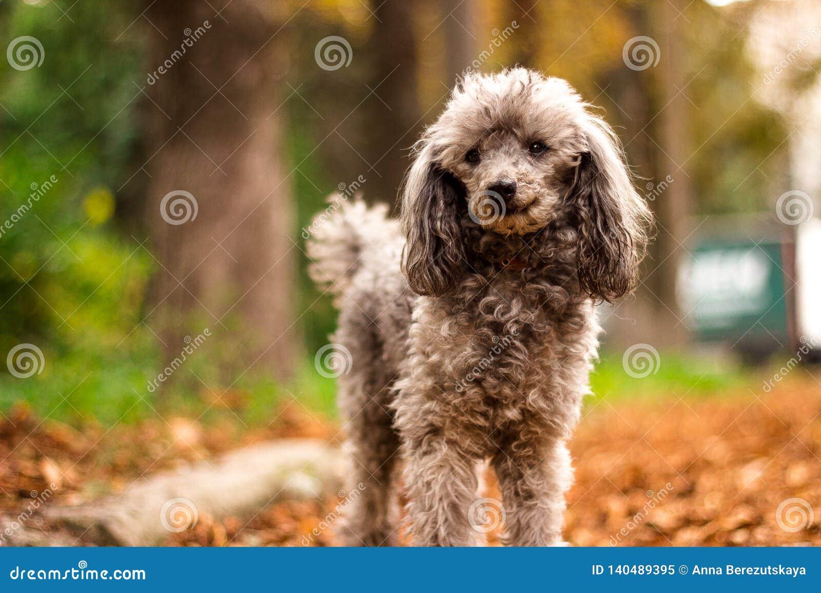 Mooie poedel in de kleurrijke herfst Hond in gouden park