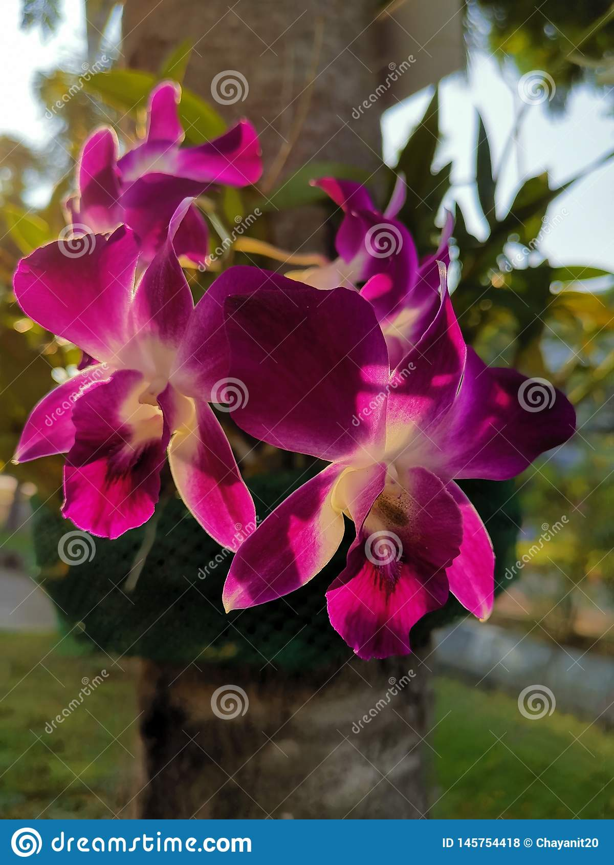 Mooie purpere orchideeën onder het avondlicht