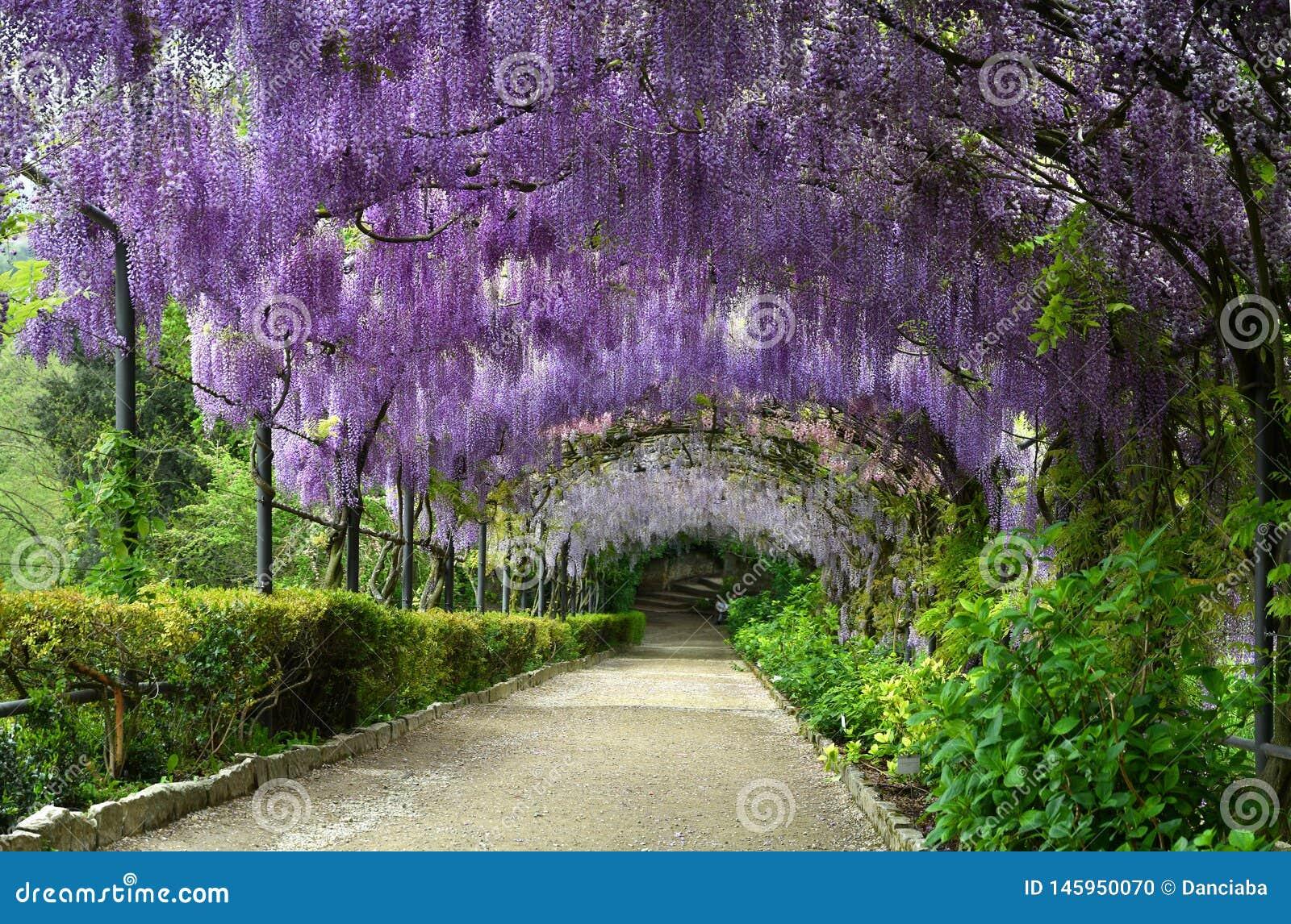 Mooie purpere wisteria in bloei bloeiende wisteriatunnel in een tuin dichtbij Piazzale Michelangelo in Florence