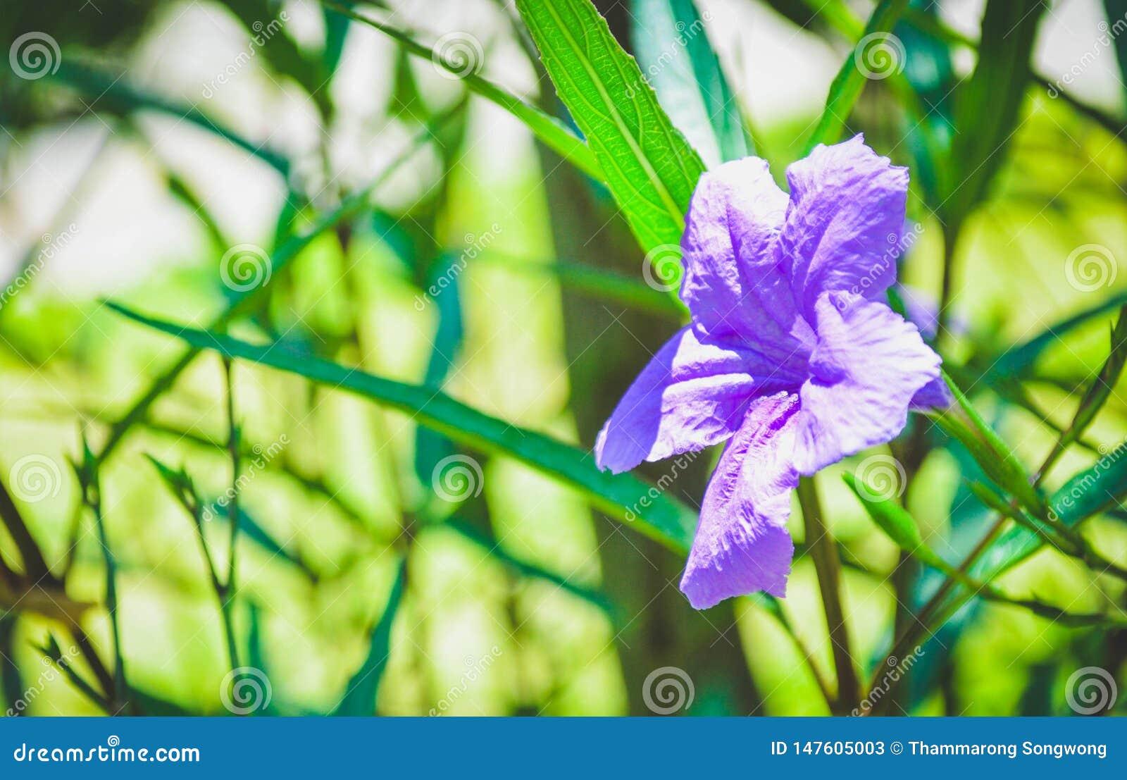 Mooie purpleflowers zijn bloeiend Ochtend het zonnebaden