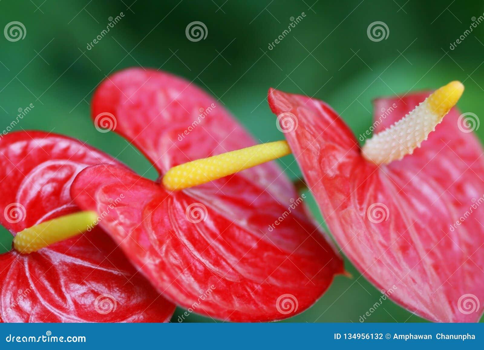 Mooie Rode Anthuriumbloemen, Drie flamingobloem